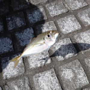 フカセ釣りでアジを爆釣!