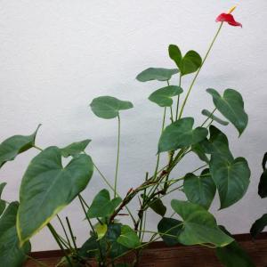【観葉植物】アンスリウムが元気になってきました!