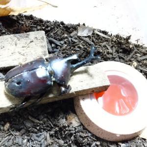 カブトムシがまだ生きています!