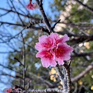 早くも桜が開花!