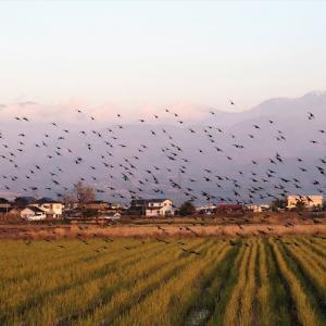 夕方、群れ飛ぶ鳥・・・富山市水橋