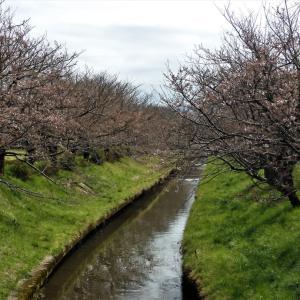 ここ二三日、水橋の桜開花事情・・・富山市水橋