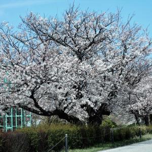 常願寺川公園の桜が満開です・・・立山町