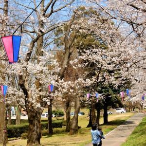 常願寺川公園の桜満開(2)・・・立山町