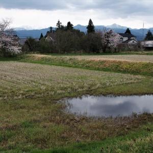 曇り日、立山山麓近くの集落でも点々と桜の花ひらく(1)・・・立山町