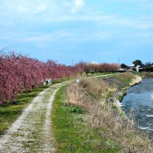 咲き始めた枝垂れ桜の並木(2)・・・上市町