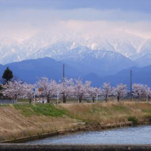 白岩川べりの若い桜も咲いています・・・富山市水橋