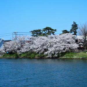 白岩川べり水神社前の古い桜が満開・・・富山市水橋