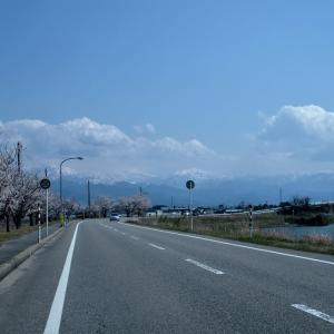 水橋の桜はどこも満開・・・富山市水橋