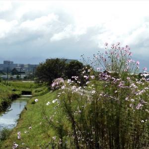 昨夜は激しい雨、朝から晴れてコスモス日和・・・富山市水橋