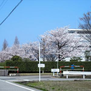 クリーンセンターの桜も満開、建物にマッチした明るさは魅力・・・富山市水橋