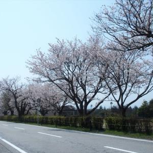 常願寺川公園の桜の楽しみ(1)・・・立山町