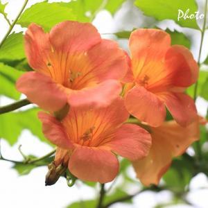オレンジ色の花・・・ノウゼンカズラ