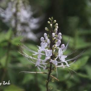 白い花色々・・・ネコノヒゲ、タマスダレ、シュウメイギク