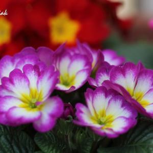 マイガーデンのお花たち(プリムラ、ユリオプスデージー、山茶花)