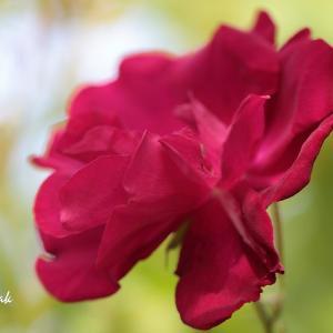 赤いバラ・・・マイガーデン
