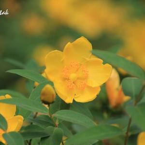黄色のお花・・・キンシバイ