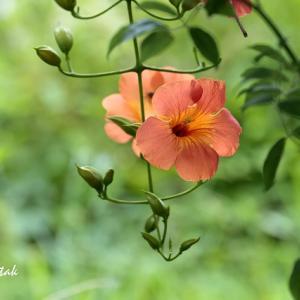 オレンジ色の花・・・ノウゼンカズラ@フラワーセンター