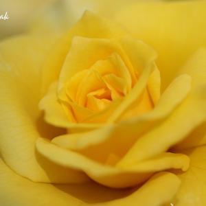 フラワーセンターのバラたち(2)