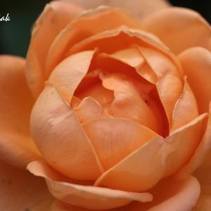 フラワーセンターのバラたち(3)