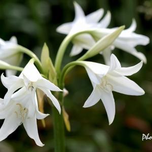 白い花いろいろ(クリナム・ポウエリイ、ガウラ)@フラワーセンター