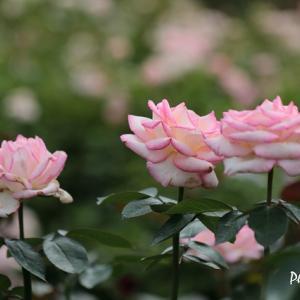 フラワーセンターのバラたち(1)