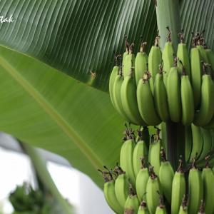 バナナの花と実@フラワーセンター
