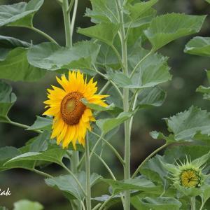 夏の花・・・ヒマワリ