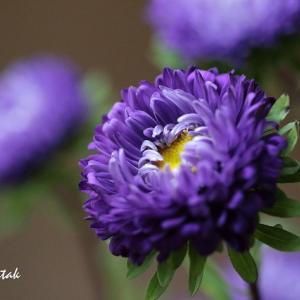 紫色のアスター、ダリア、マリーゴールド@マイガーデン