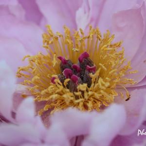 シャクヤクの花(2)・・・フラワーセンター