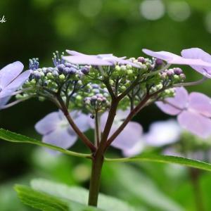 近所の紫陽花いろいろ(2)
