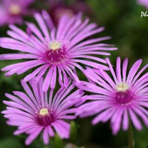 マツバギクとキンシバイ・・・近所の花