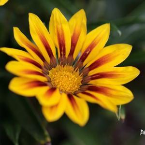 ガザニアとジニア・・・近所の花