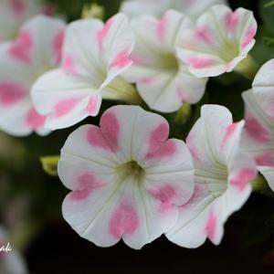 ピンクのハートが可愛いペチュニア・・・近所の花