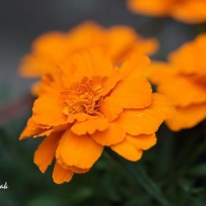 マイガーデンのお花たち・・・ビオラ、マーガレット、マリーゴールド