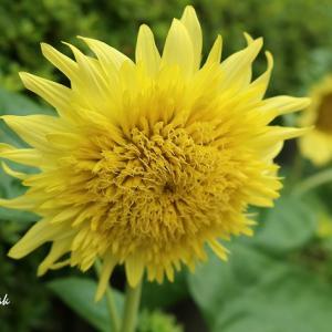 近所の向日葵