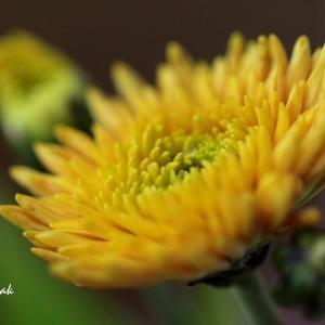 マイガーデンのダリアとキク科のお花