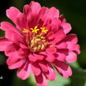 お散歩中に出会ったピンクの花たち