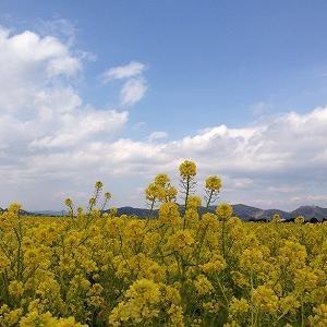 菜の花畑 もうすぐ満開♪ 岡山県東部の道の駅「笠岡ベイファーム」
