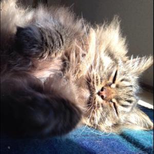 猫の拡張性心筋症 その後