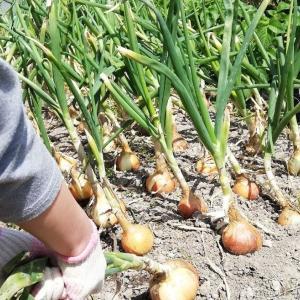 孫娘1号の助けで新玉ネギを収穫