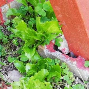 庭の隅に捨てたレタスの種が発芽した