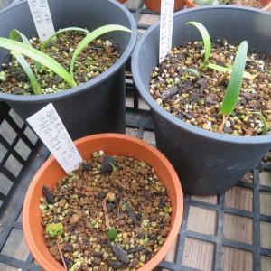 アカバナマユハケオモト、常緑葉と落葉タイプ2品のこぼれ種実生苗のその後・・・
