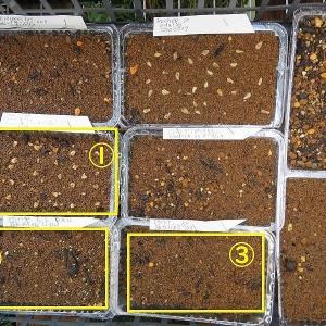 自家採取種子と冷蔵庫保存していた海外輸入購入種子の発芽くらべ~ッ