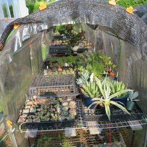 多肉植物サボテン!何とかしたい猛暑対策!花かごトレーで、ピンポイント遮光♪