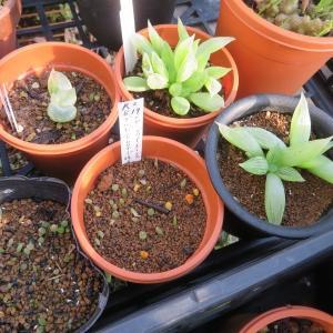 冬型多肉植物、10月末の姿、ブルビネ、クラッスラ