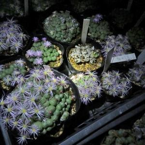 真っ暗中~満開花ちゅ~♪&大っきな花のコノフィツムそ~し~て~♪スヤスヤ~