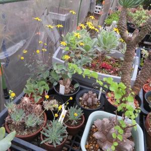 新葉が生えてから植え替えちゃた亀甲竜(ToT)、カランコエの花芽、多肉紅葉♪
