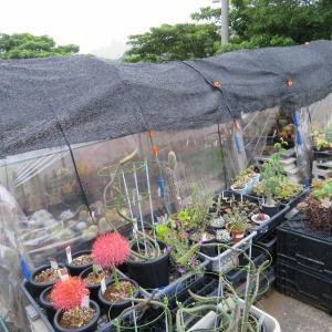 サボテン&多肉植物、簡易ビニールハウスの強い日差し&猛暑対策~!