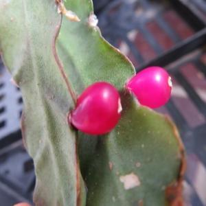 森林性サボテンに赤い実が・・・